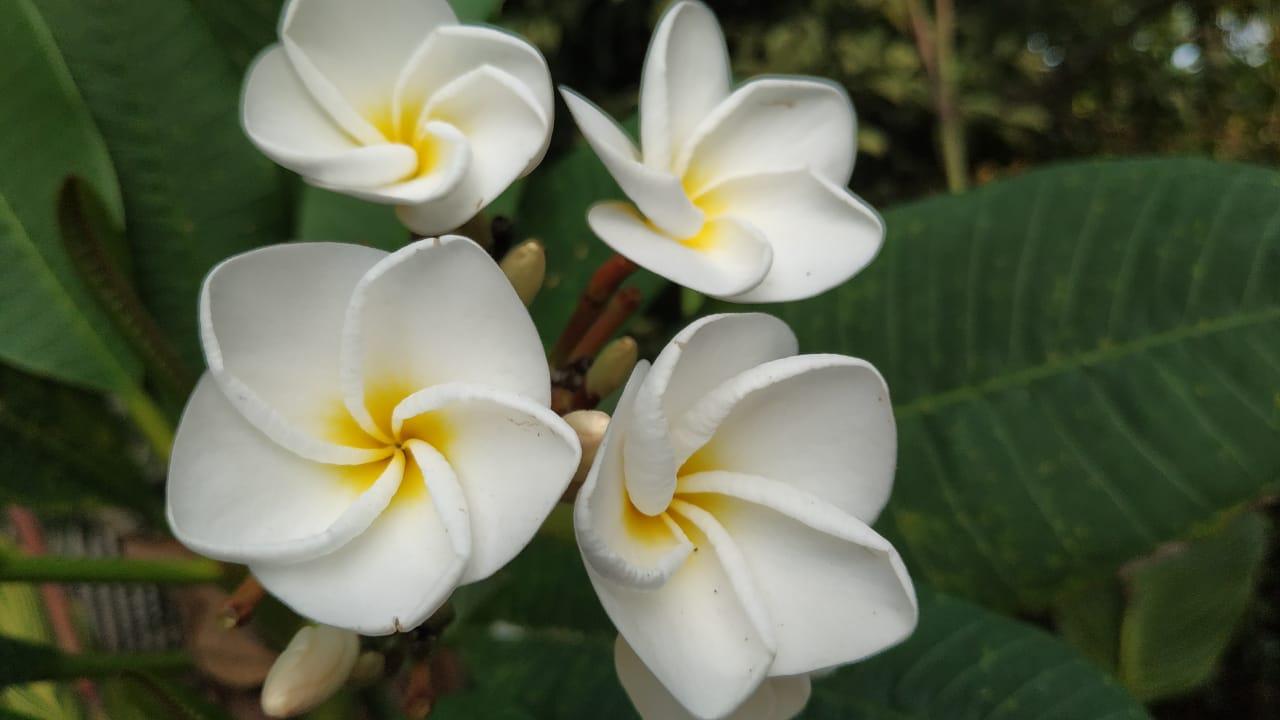 Bunga Kamboja Mekar Tanpa Mengenal Musim Berita Daerah