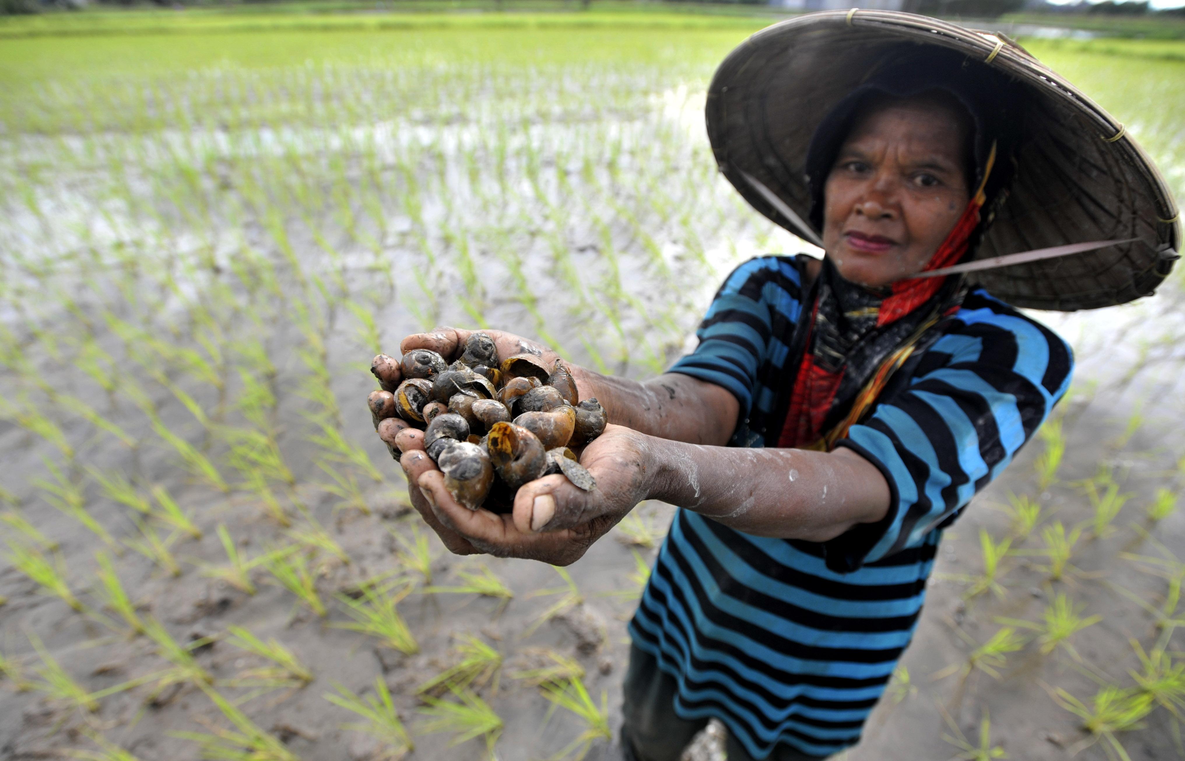 Musim Hujan, Sebagian Besar Sawah di Gowa Terserang Hama Keong Emas